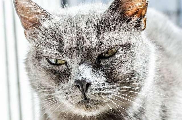 """Снимка на сърдита котка във връзка с темата """"Оцеляване по празниците""""."""