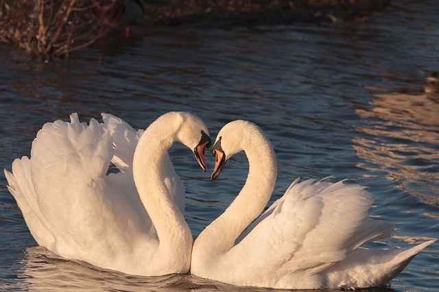 два влщбени лебеда как да го накараш да ти се разкрие