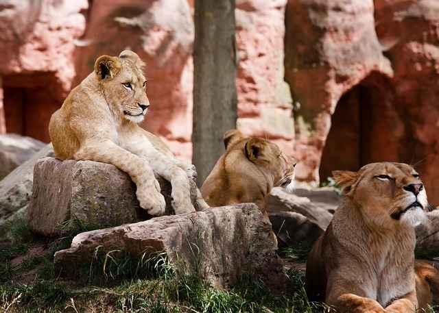 лъвове типове екстроверти