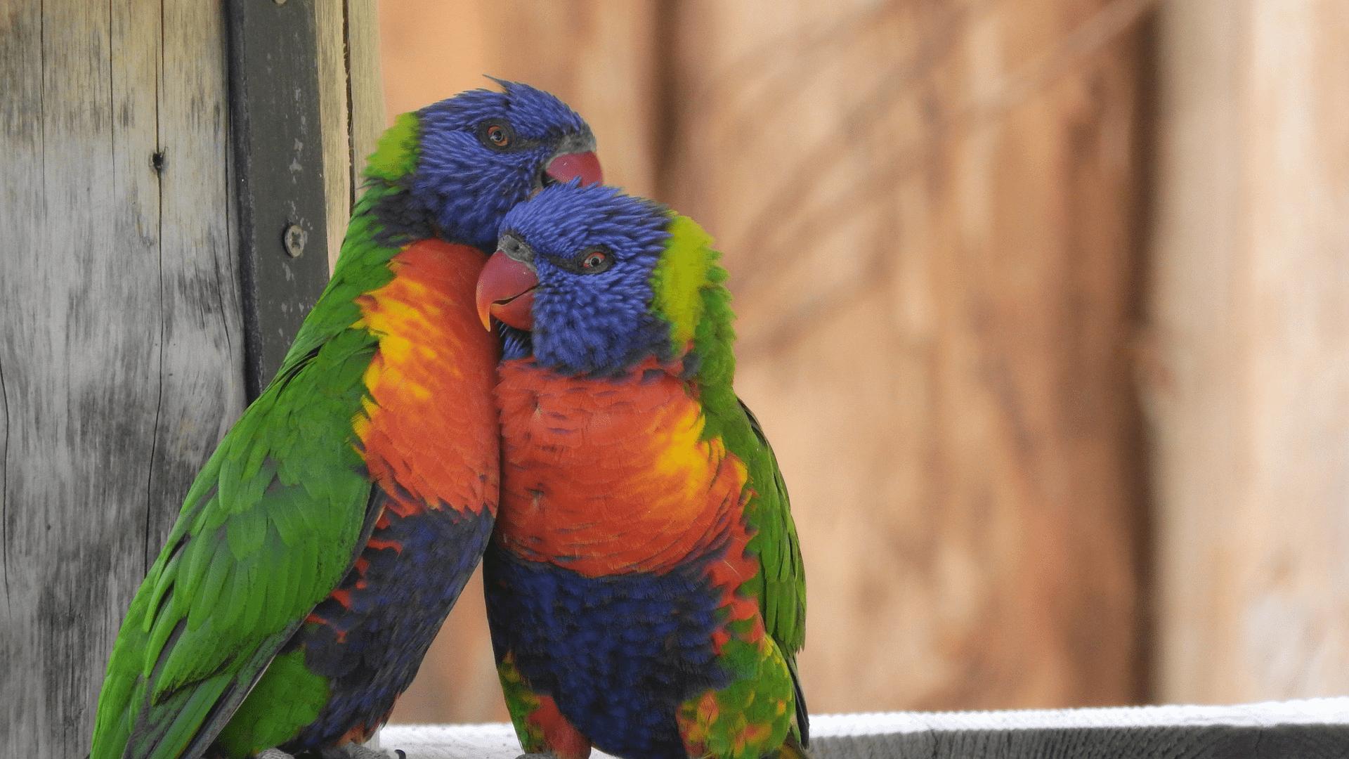 две папагалчета, които се обичат, флирт за напреднали