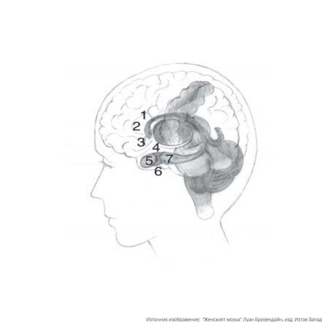 женският мозък карта