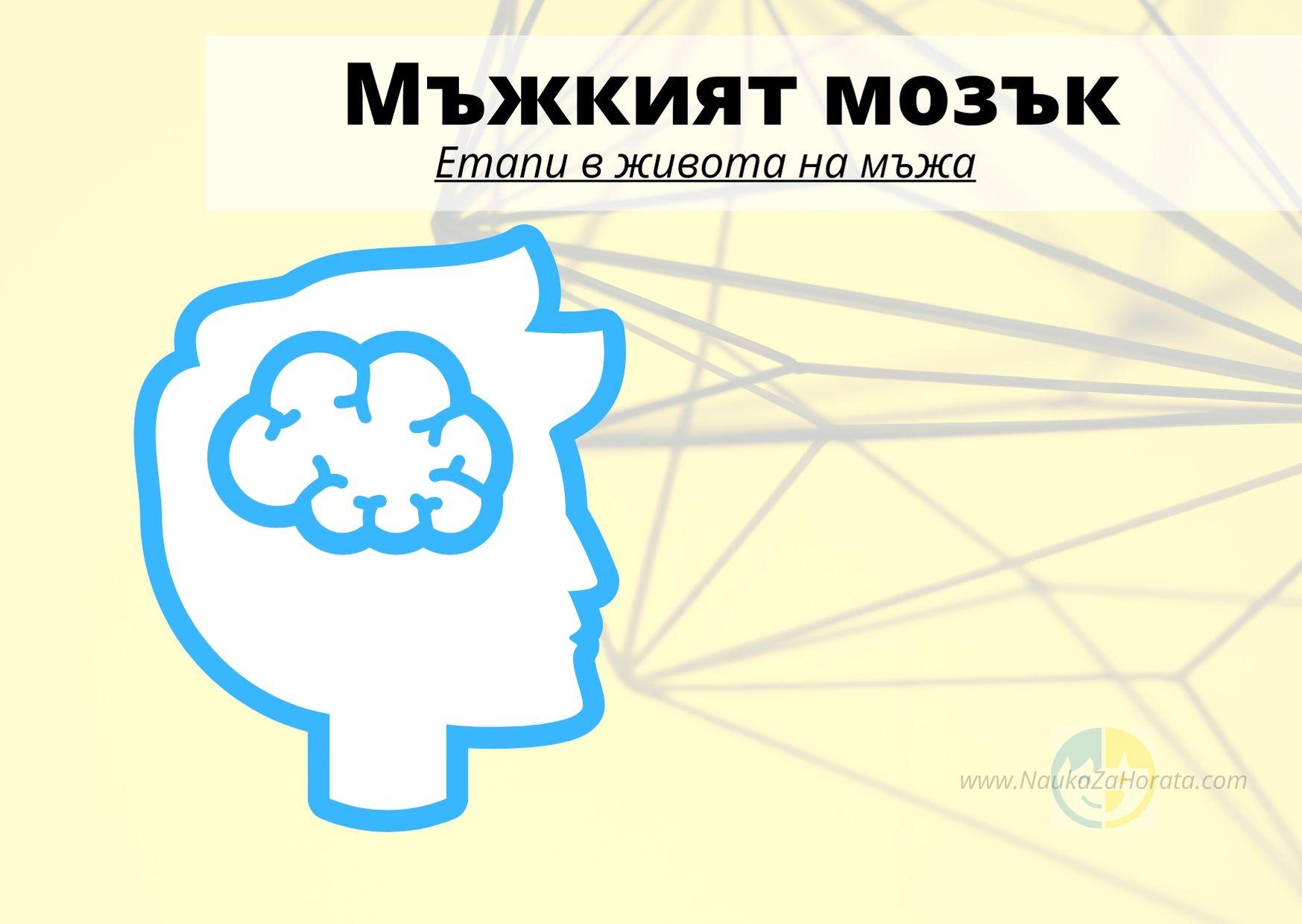мъжкият мозък етапи на развитие